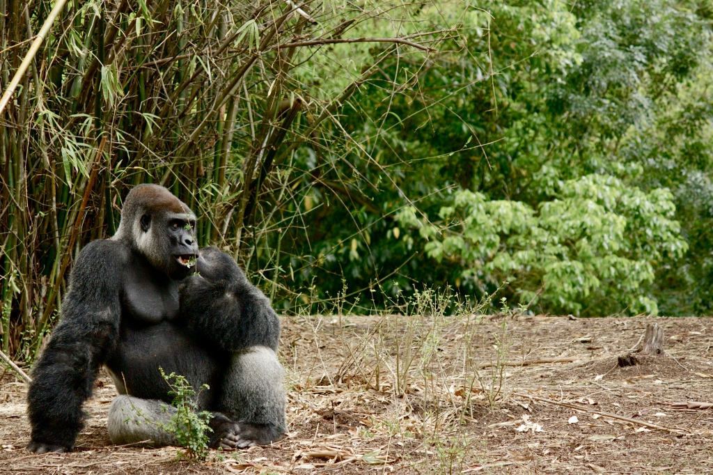 First pic in a series of comical and life-like gorilla pics. As seen along the Exploration Trail. Love the nuanced and lazed vibe of the animals just chilling and eating--but let me tell you, when they get up to roam around, the muscle and bone crushing power of their gait and size is really quite daunting. First pic in a series of a few to come.