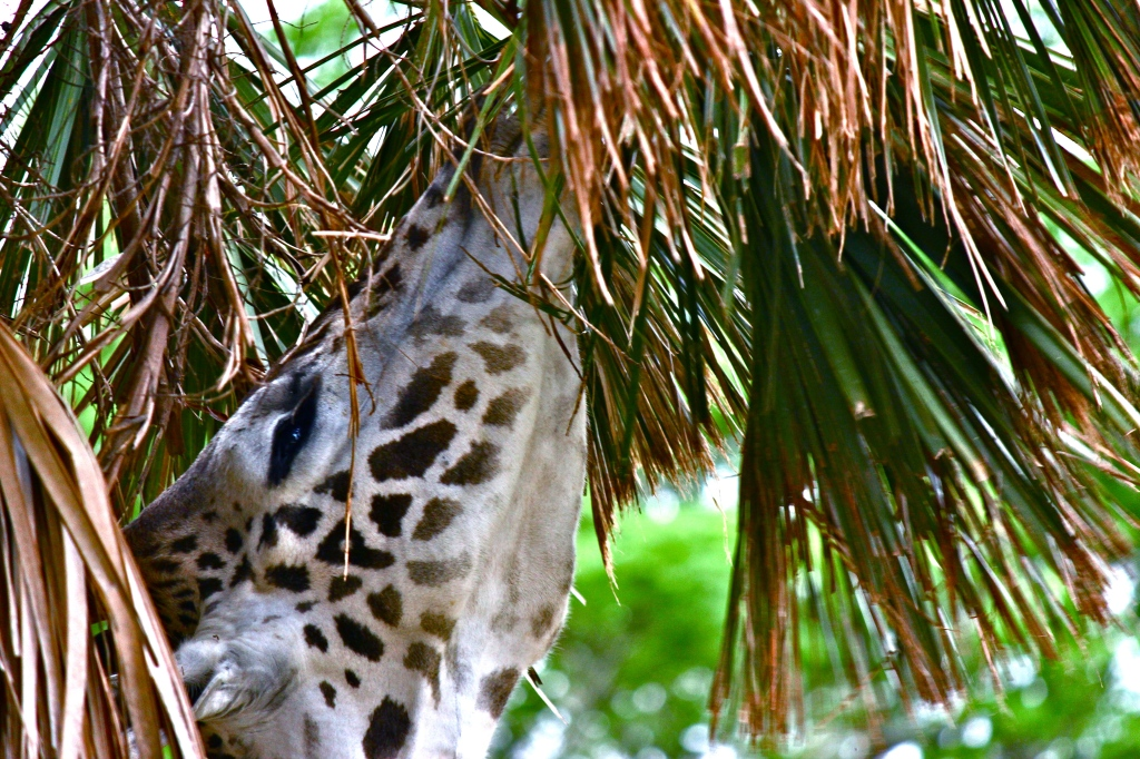 Giraffe-as seen on the Kilimanjaro Safari at Disney's Animal Kingdom. The moving jeep accounts for the less-than-ideal framing. 1/160 shutter speed to avoid motion blur.